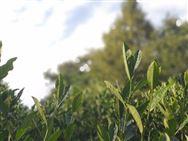500克茶叶=人工采摘60000-80000次 茶叶生产机械化迫在眉睫